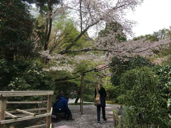 Stilheden og cherry blossom