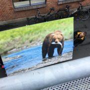 Kæmpe bjørn til mødelokalet hos Vega Salmon
